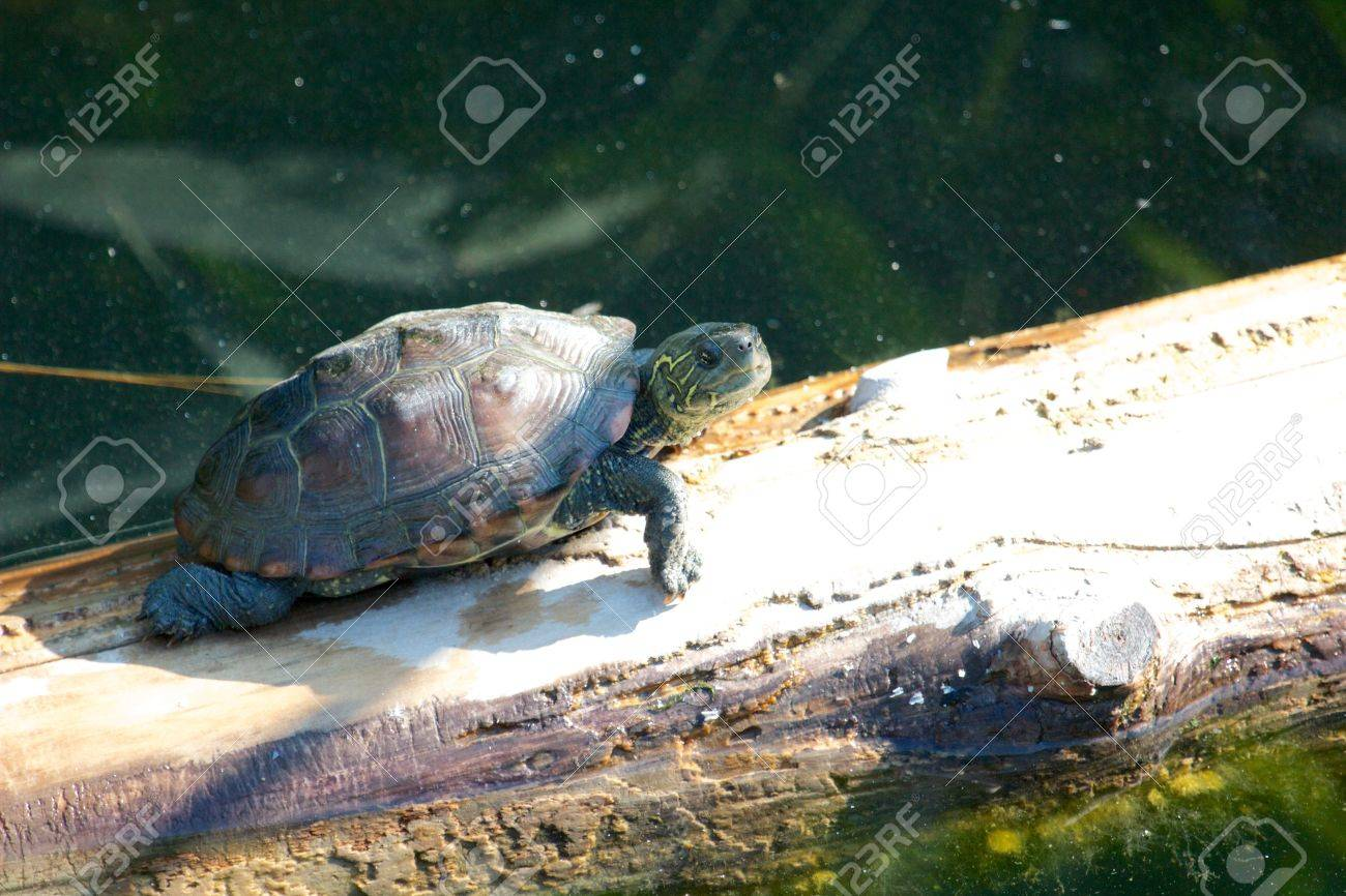 Young snapping turtle walking along an old tree trunk in the water Stock Photo - 17336294