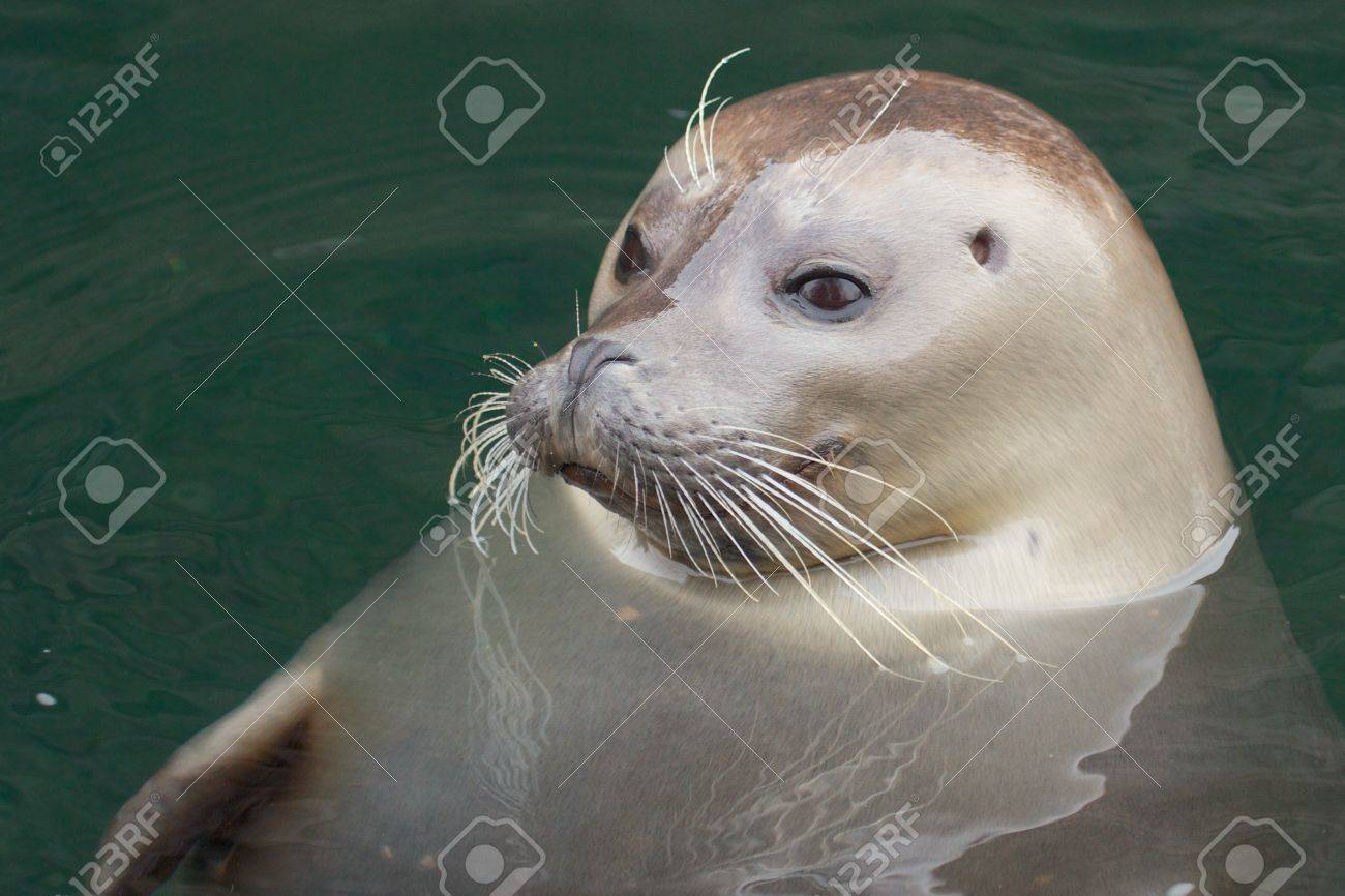 Cute seal pup looking out of the water with big curious eyes Stock Photo - 17922120