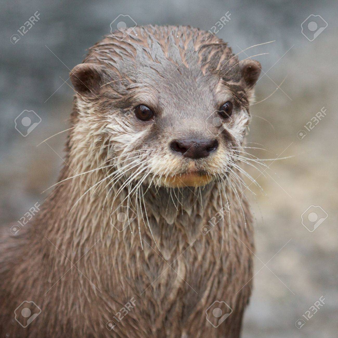Portrait of a small-clawed otter standing upright - 17922096
