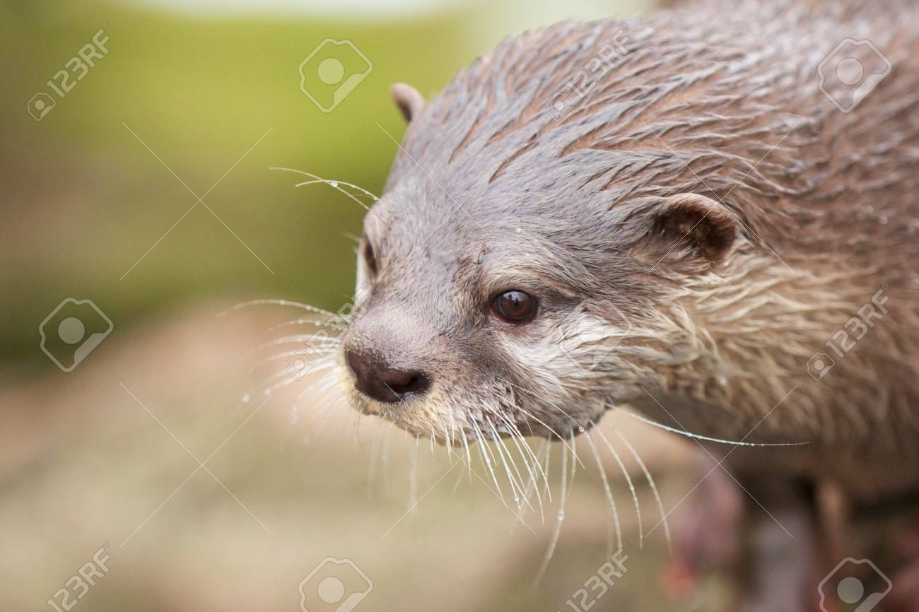Curious small-clawed otter looking out for prey Stock Photo - 18006452
