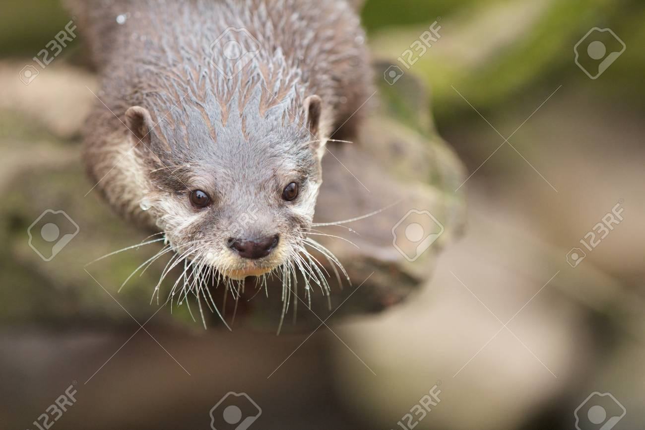 Closeup shot of a cute small-clawed otter waiting for its food Stock Photo - 18655890