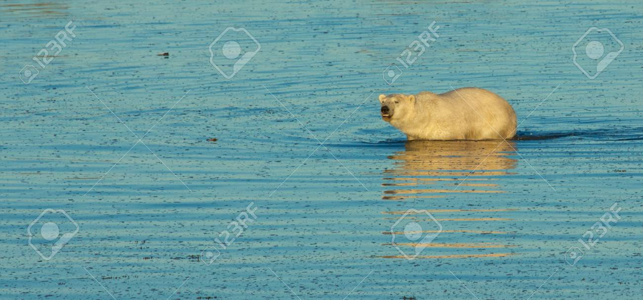 Curious Canadian Polar Bear wading through the cold waters of