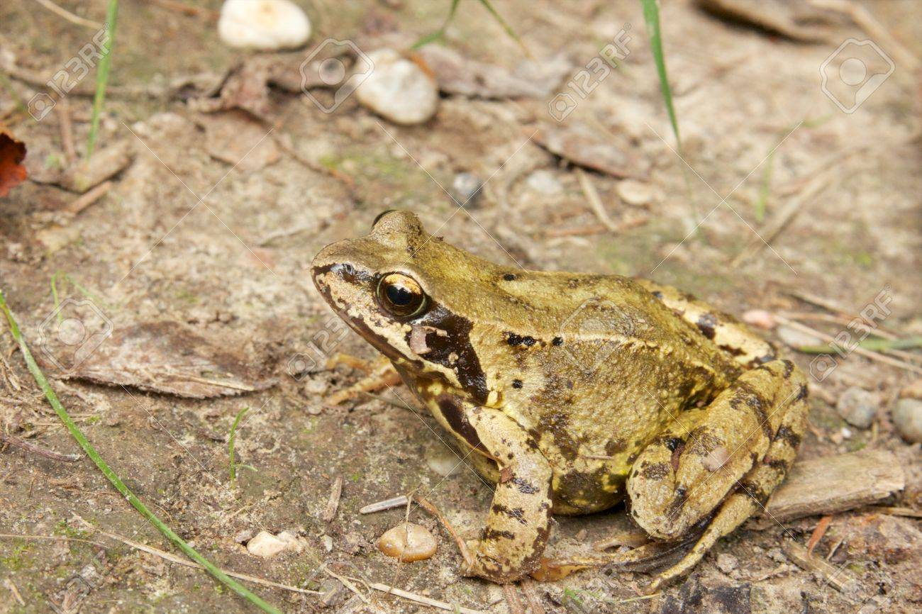 Closeup portrait of a common European frog on the forest ground - 22806310