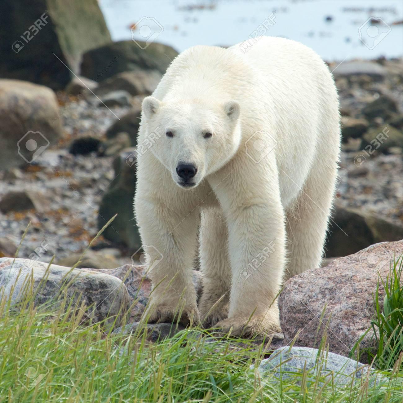 Curious Canadian Polar Bear walking along the shore of the Hudson Bay near Churchill, Manitoba, in summer - 23181419