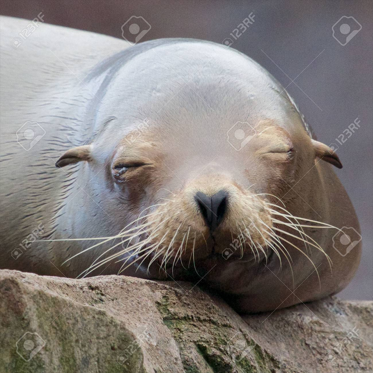 Lazy sea lion sleeping and wallowing on a rock - 25750680