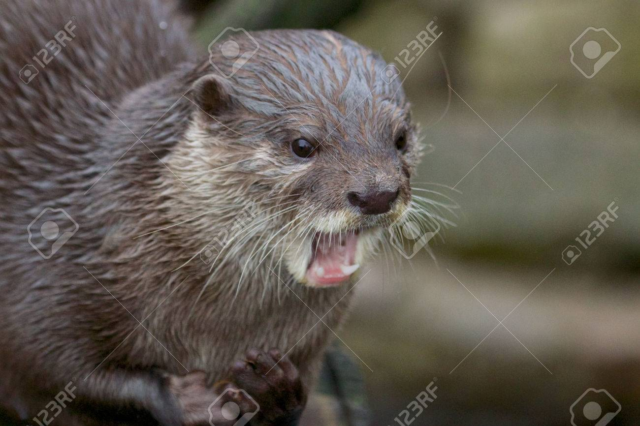 Portrait of a small-clawed or Asian otter, a cute predator from the Far East - 25750681