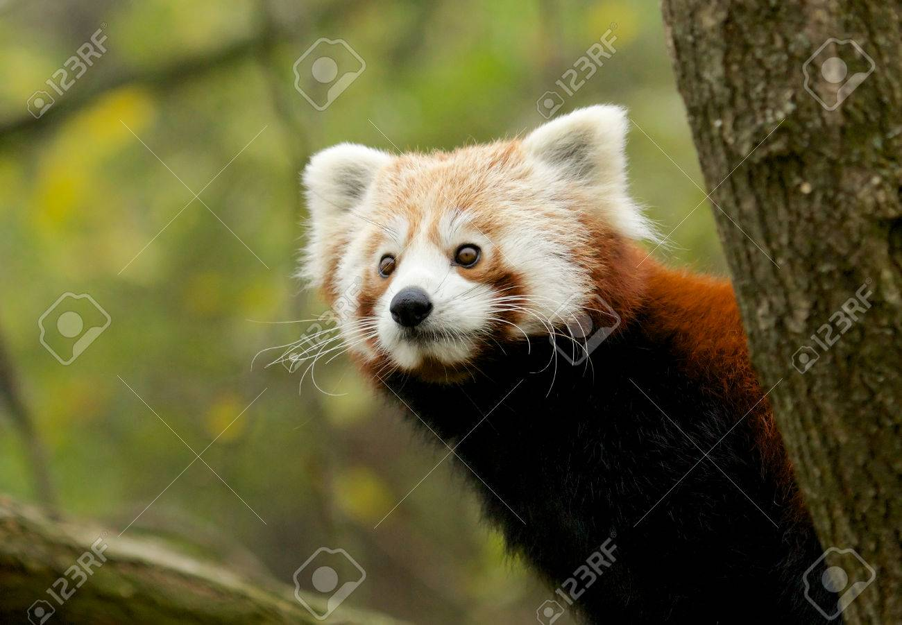 Portrait of a cute Red Panda, an endangered species from the Himalayas - 27412205