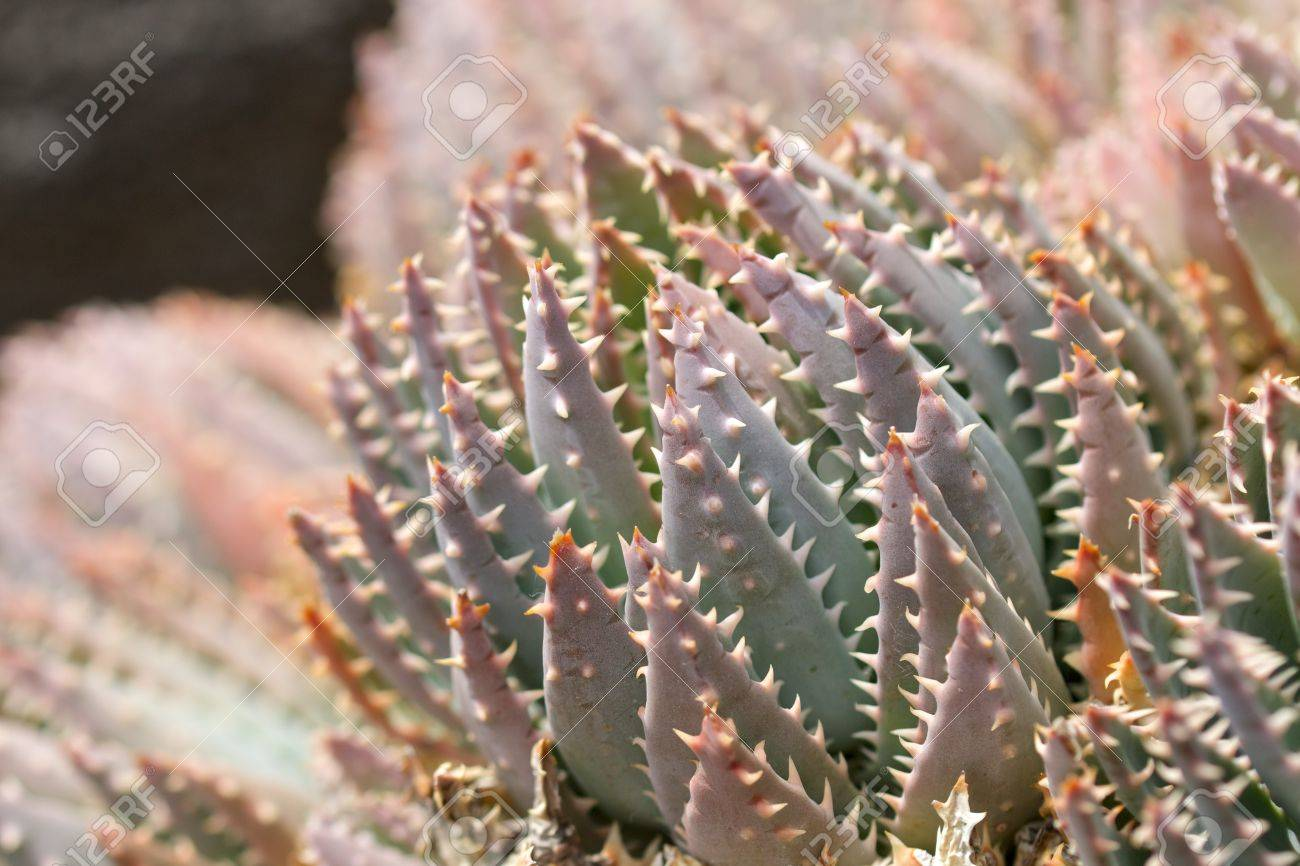 macro shot of a cactus in jardin de cactus lanzarote spain stock photo