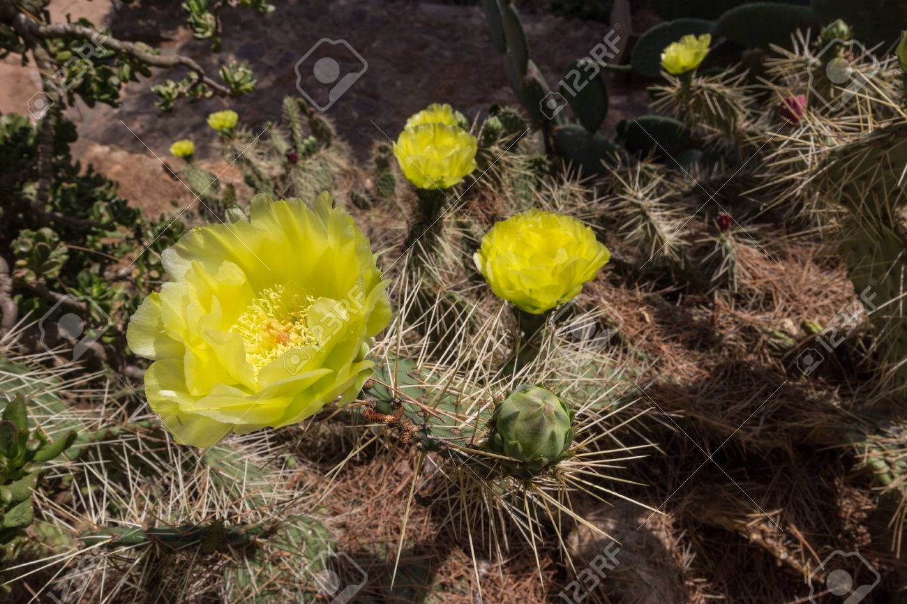 Beautiful Yellow Cactus Flower In A Spanish Botanical Garden Stock ...