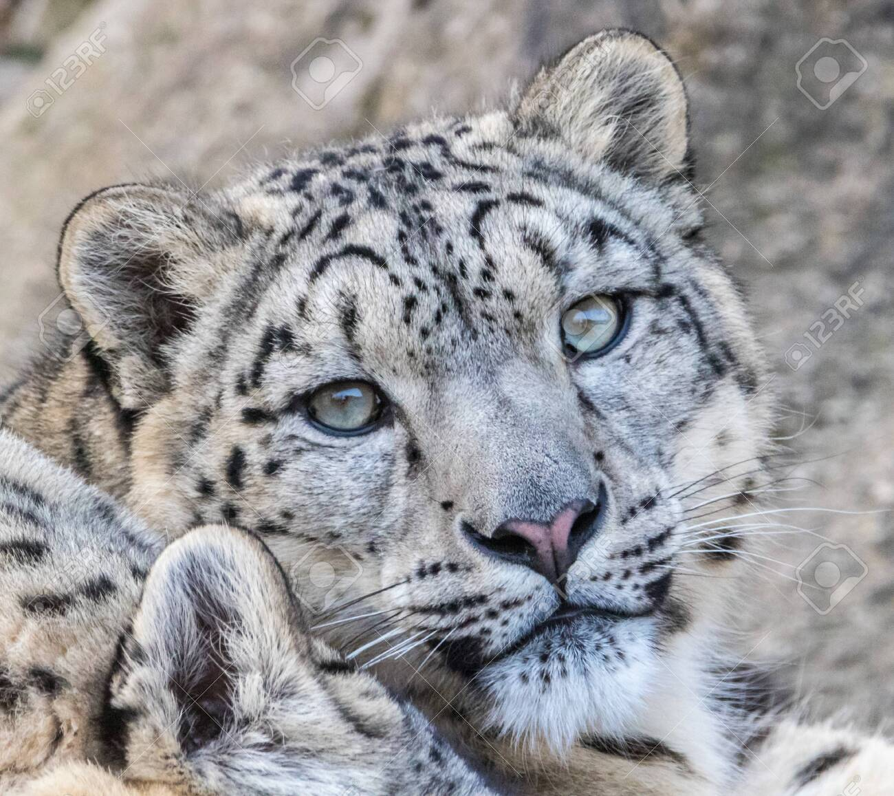 Young and well camouflaged Himalayan Snow Leopard waiting for its prey - 134623323