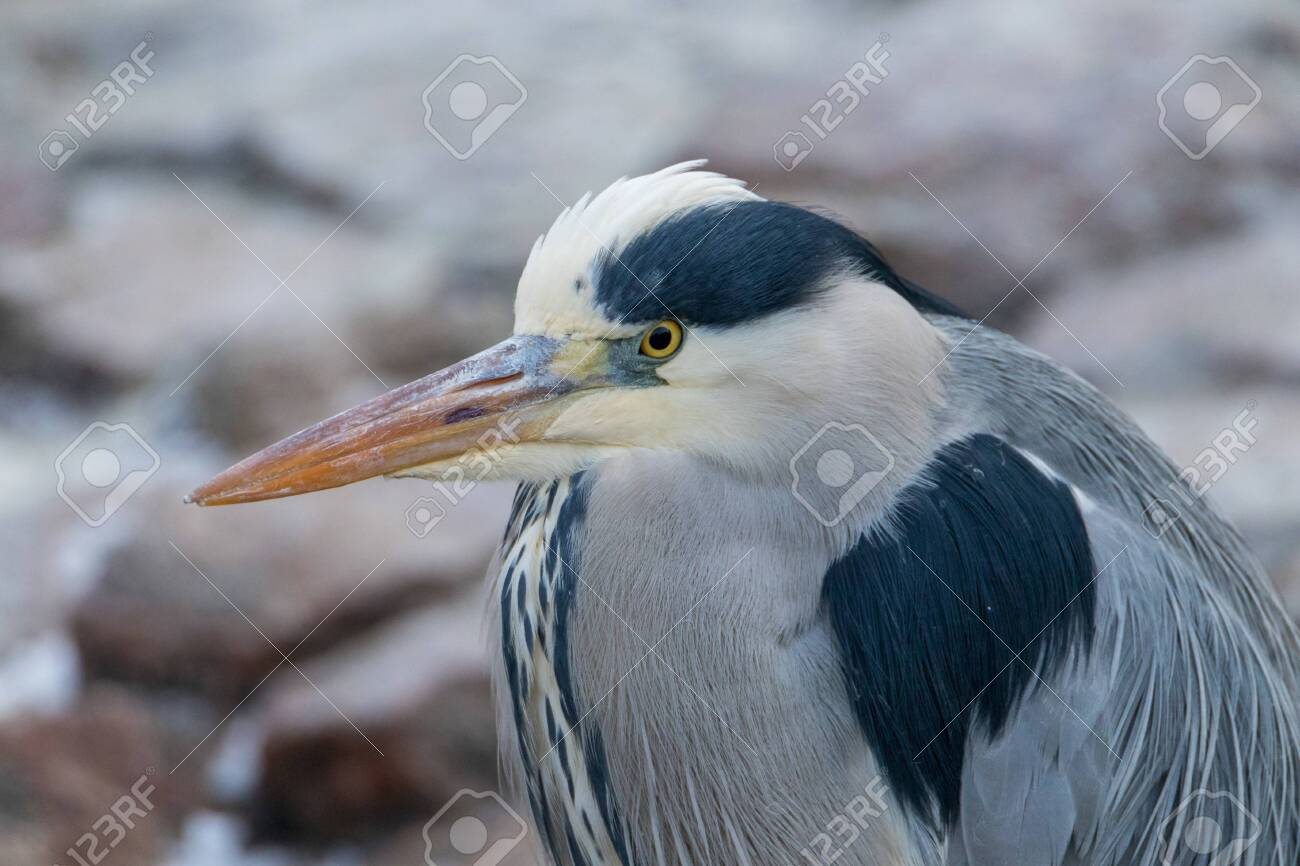 Portrait shot of a grey heron looking out for fish to catch - 134623333