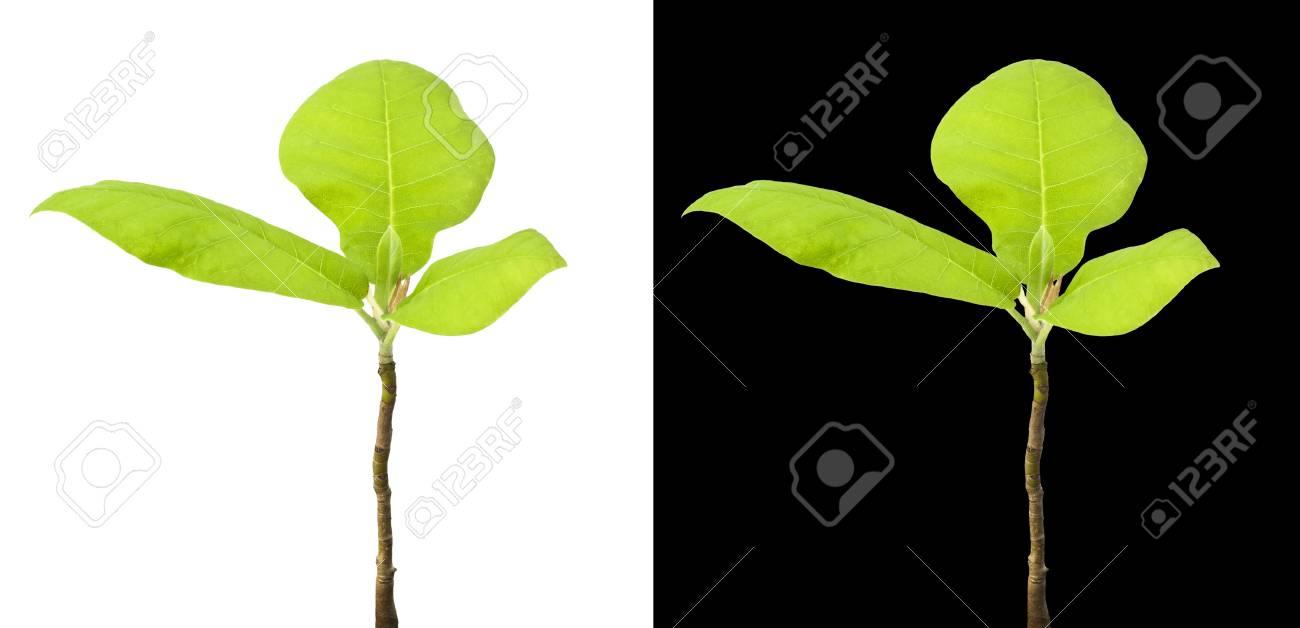 Exquisit Grüne Pflanzen Foto Von Grüne Isoliert Auf Weiß Und Schwarz. Grüne