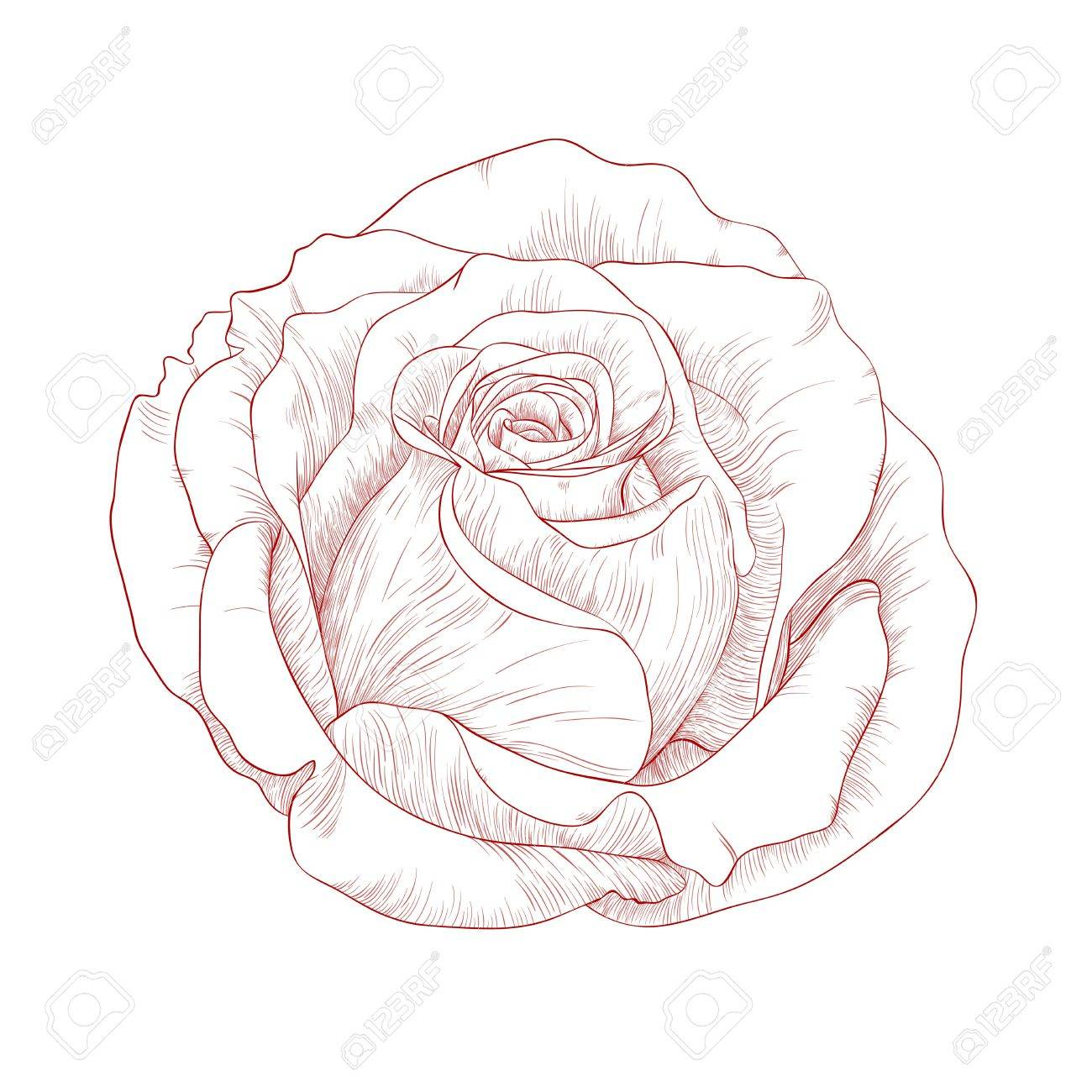 illustration with rose in vintage engraving style. Stock Vector - 13077306