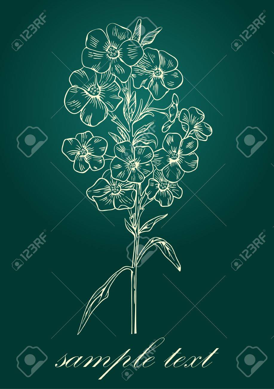 phlox in vintage engraving style for greeting card. Stock Vector - 13611147