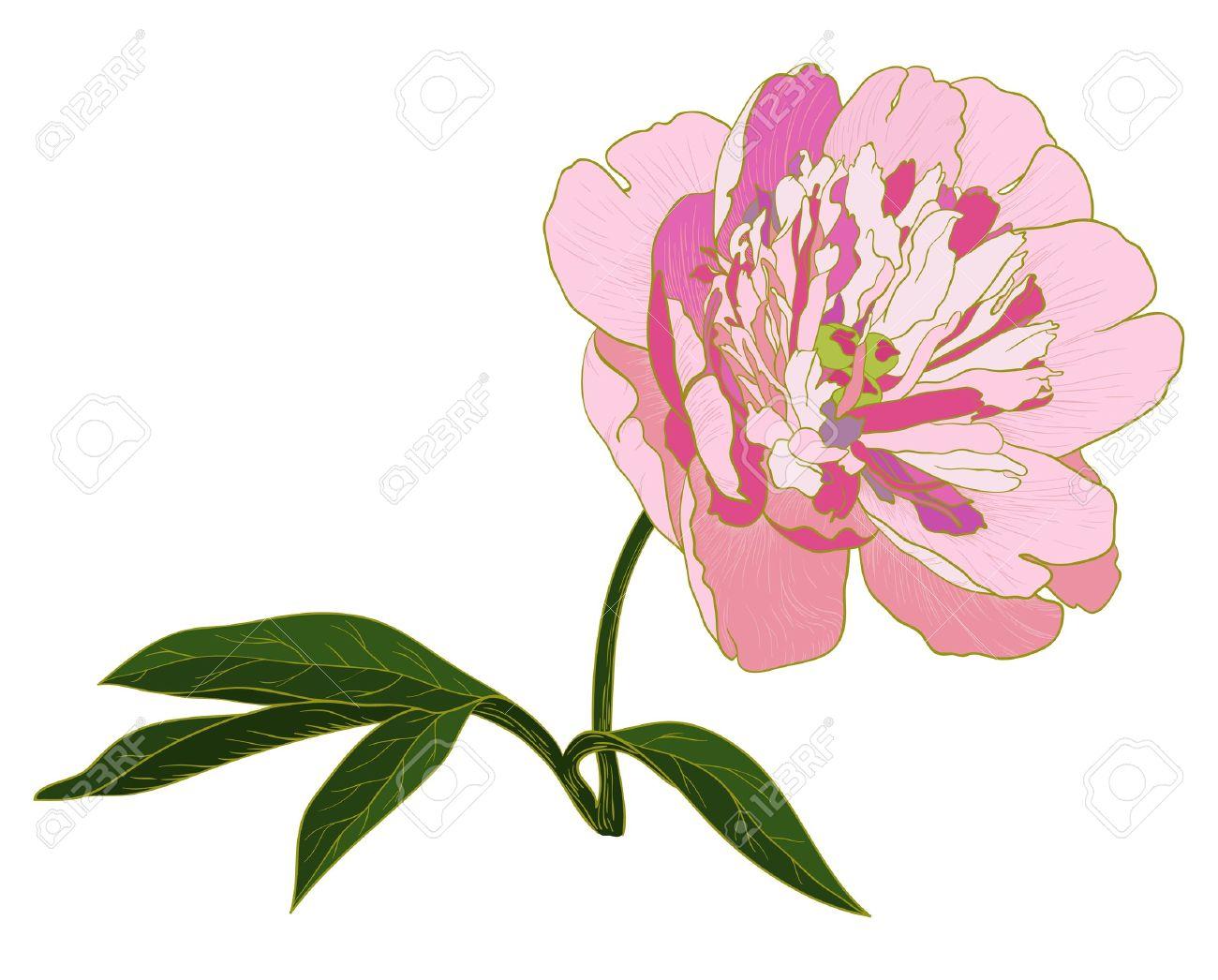 Vintage Peony Illustration peony flower Vector peony