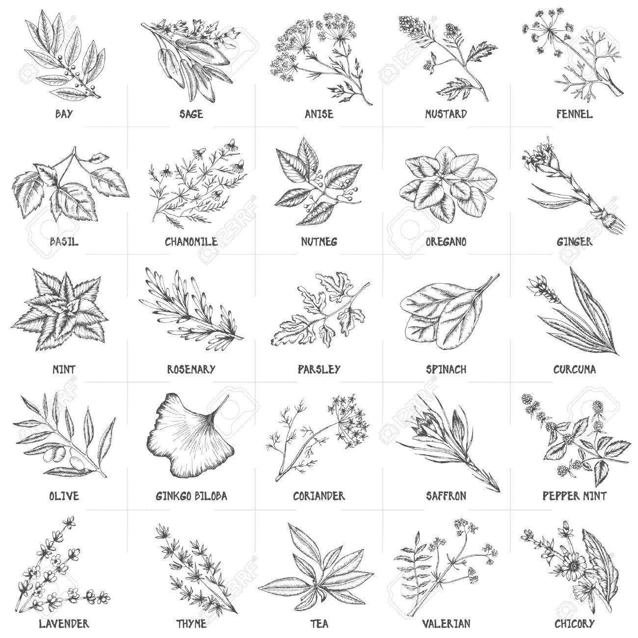 Küche Und Drogenpflanzen Sammlung. Bay, Salbei, Anis. Fenchel, Basilikum,  Kamille, Muskatnuss, Oregano, Ingwer, Minze, Rosmarin, Petersilie, Spinat,  ...