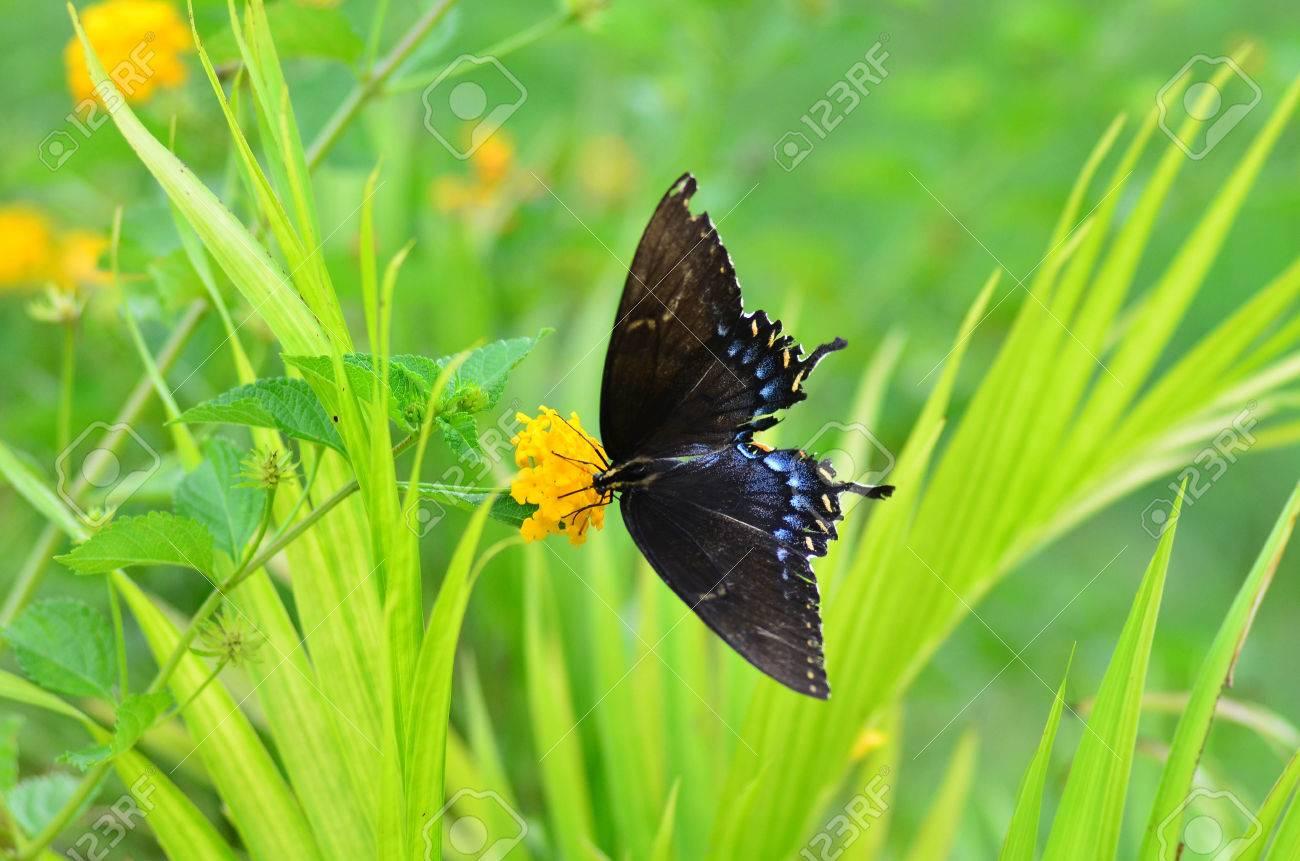 a black butterfly on a yellow yarrow top 10 flowers butterflies