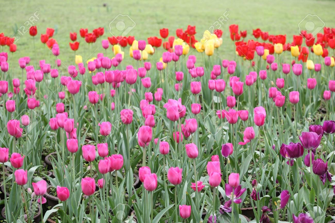 Die Schönen Gärten Der Frühling Tulpen Charmante Duft Lizenzfreie