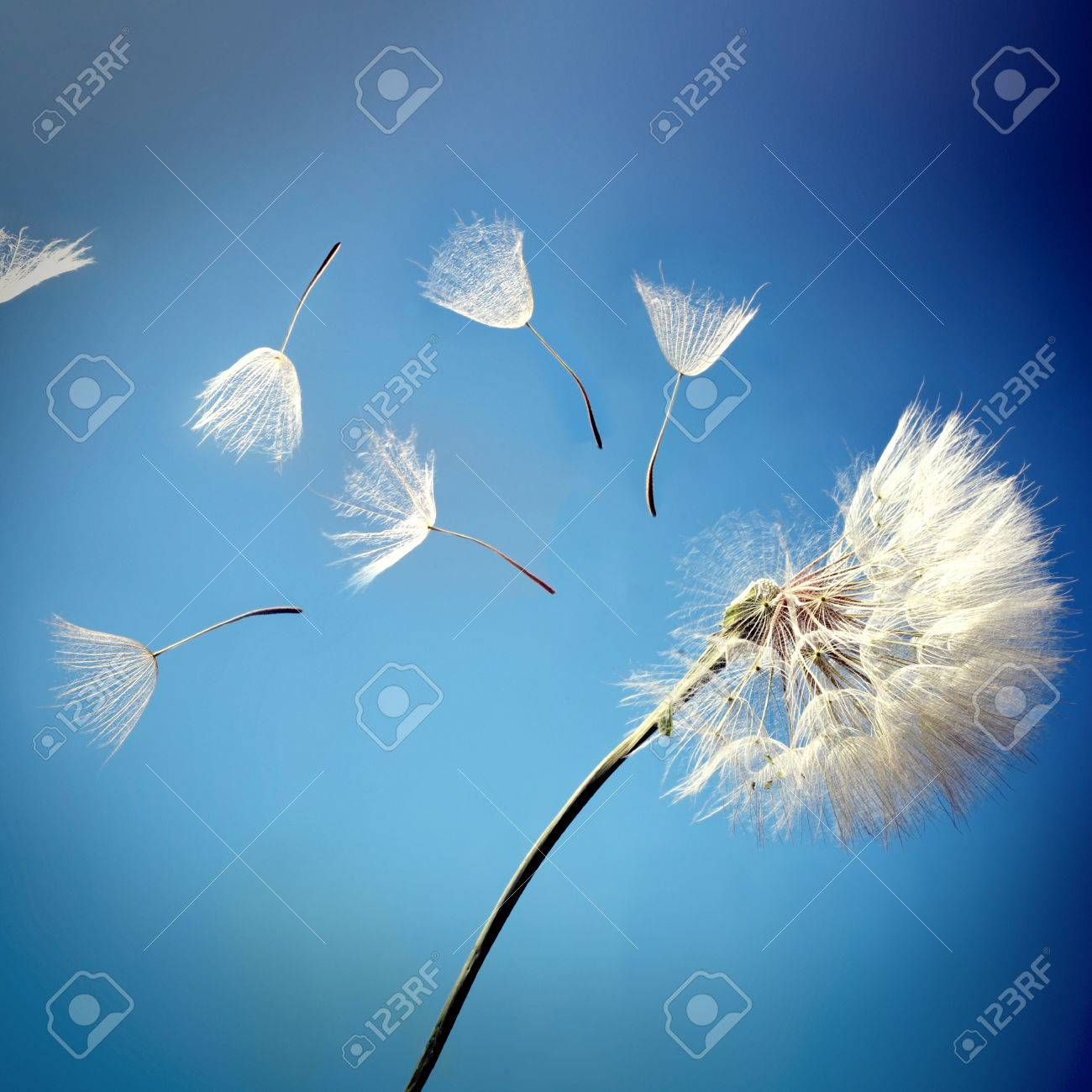 flying dandelion seeds on a blue background - 36986618