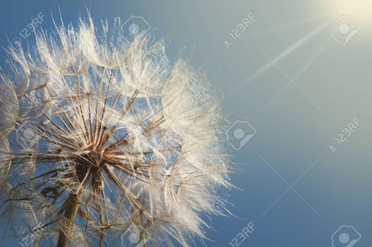 big dandelion on a blue background - 61012210