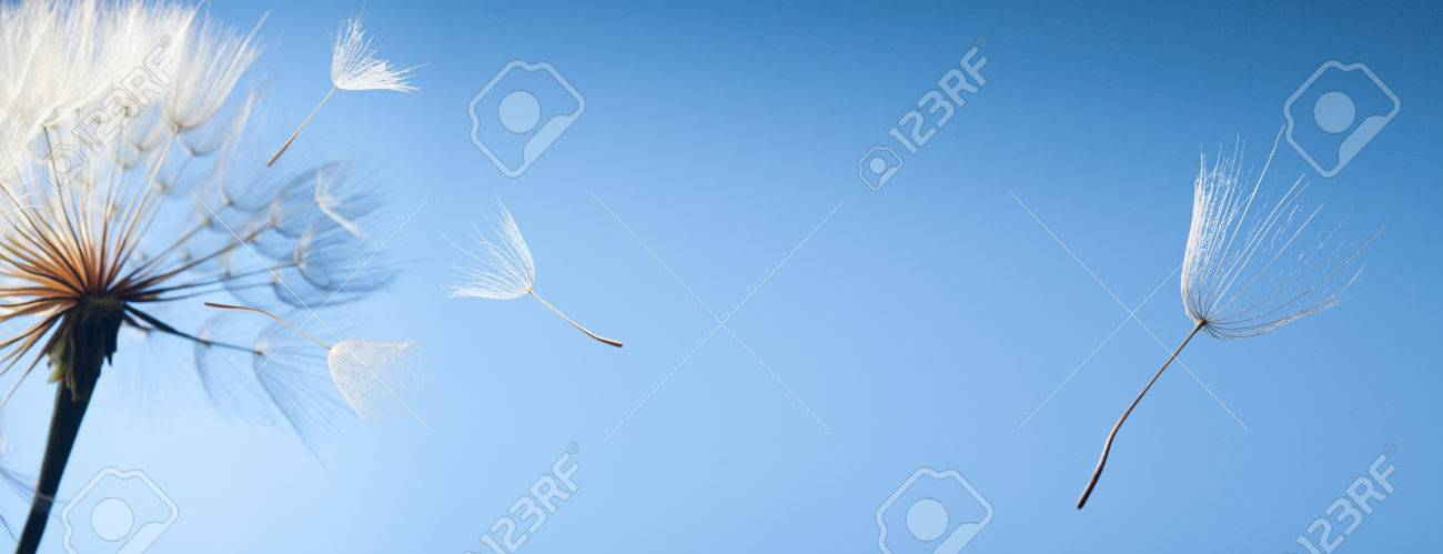 flying dandelion seeds on a blue background - 69227241