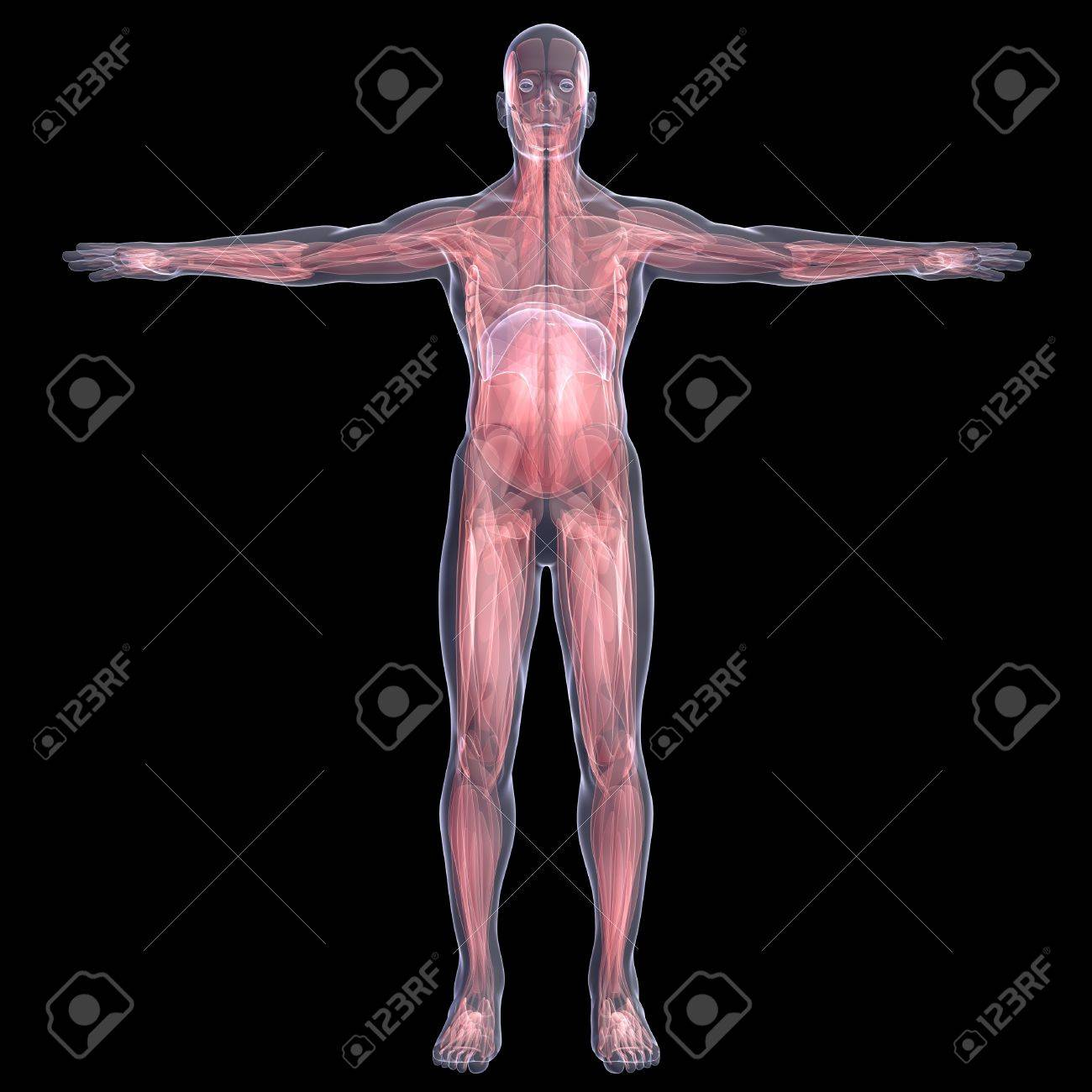 X-Ray picture of a person  muscle  Isolated render on a black background Stock Photo - 19443550
