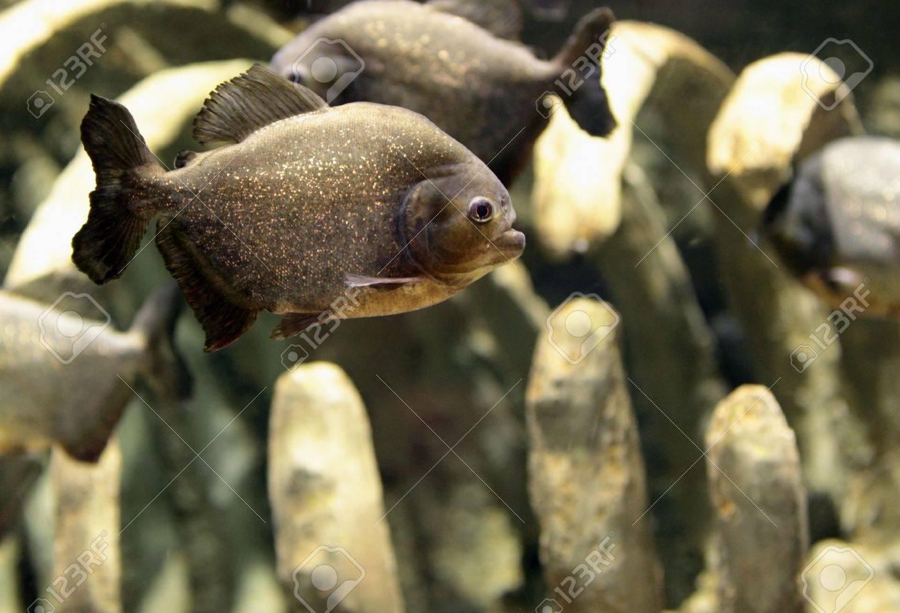 Piranhas in the aquarium. Dubai, Emirates. Stock Photo - 10420431