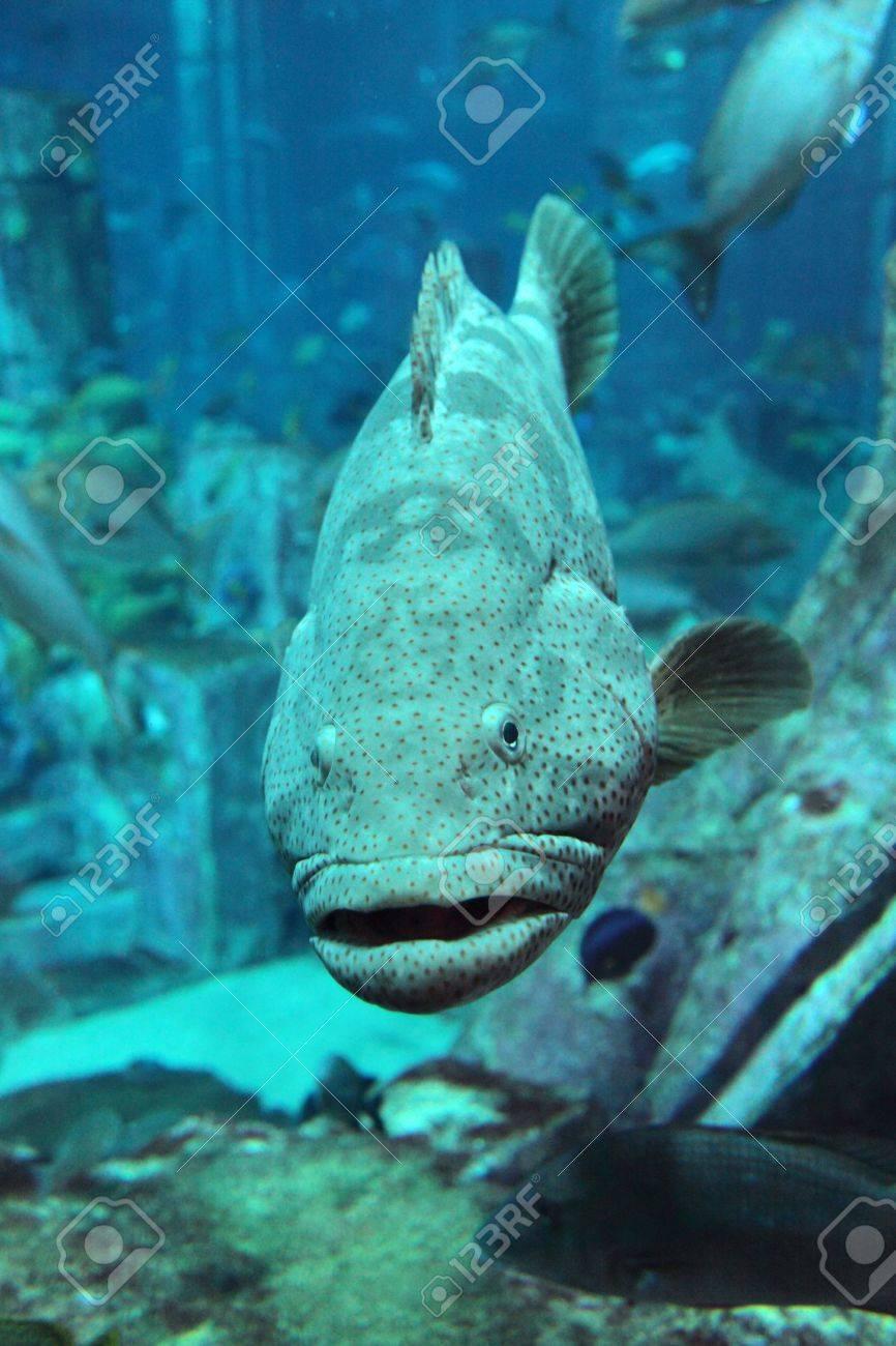 Grouper in the aquarium. Dubai, Emirates. Stock Photo - 10503491