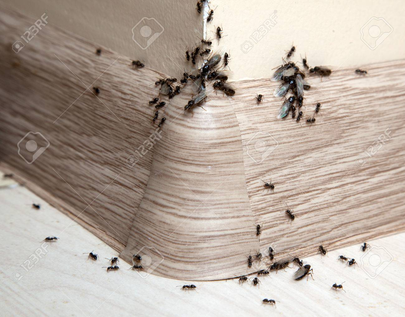 Ants in the house on the baseboards and wall angle Standard-Bild - 72265270