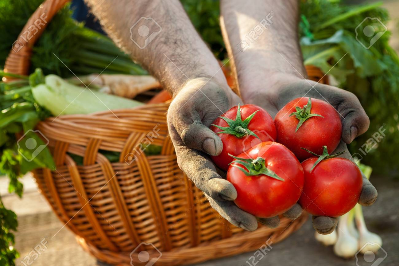 Tomato Picked From Garden In Dirty Farmer Hands Stock Photo, Picture ...