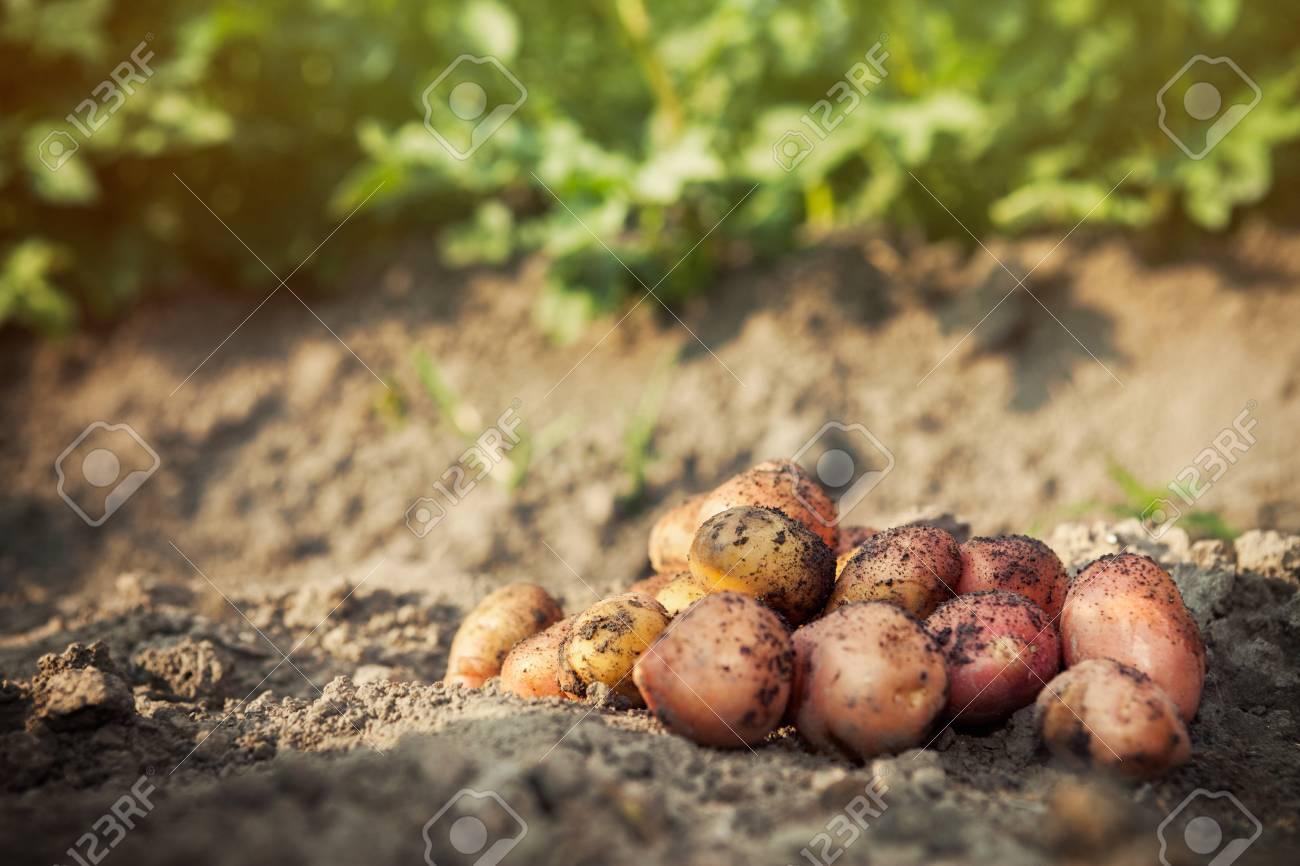 Raw Fresh Potato On Ground Background. Potato Harvest In Garden ...