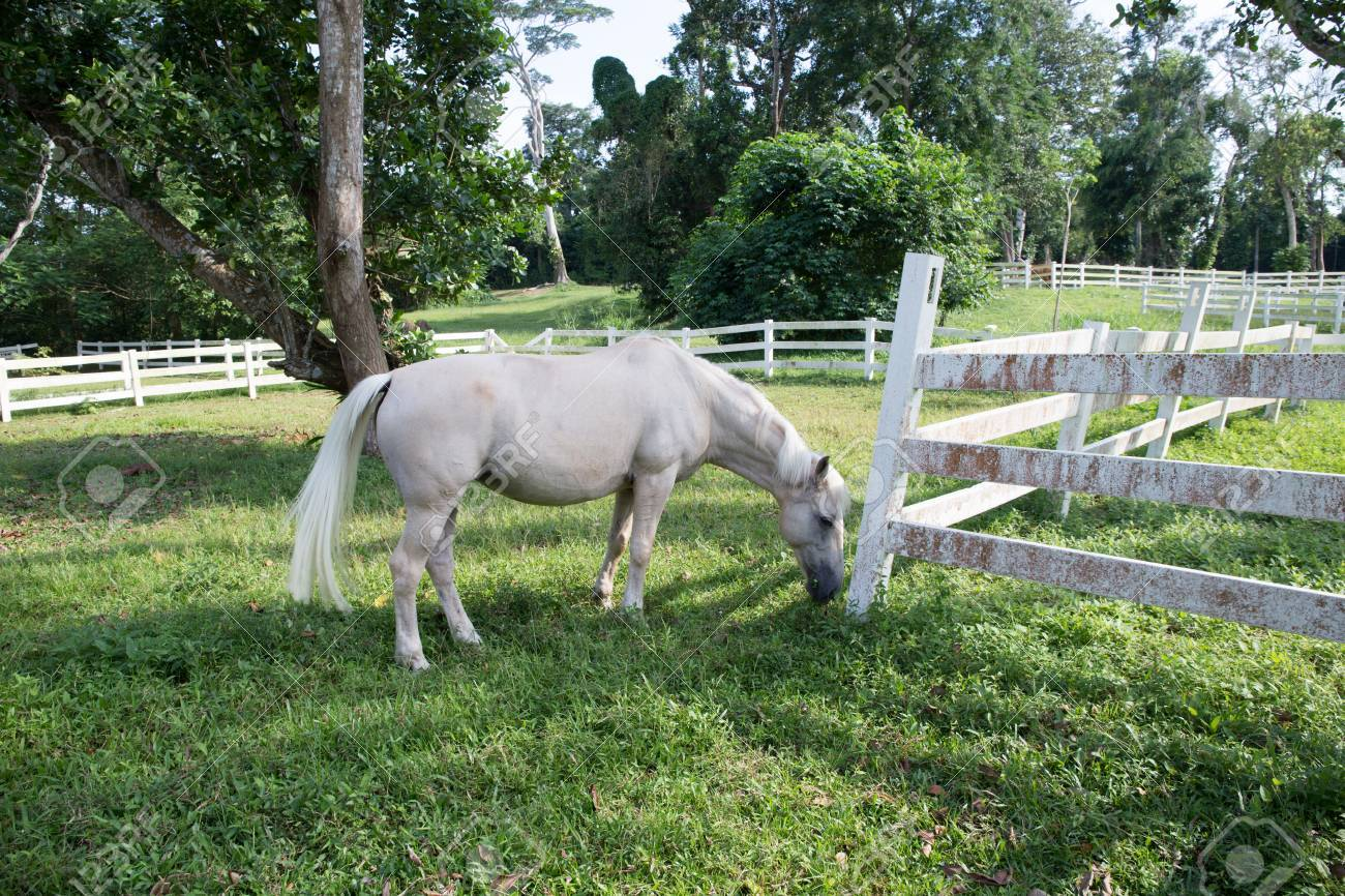White Horse In Farm Stock Photo Picture And Royalty Free Image Image 71120478