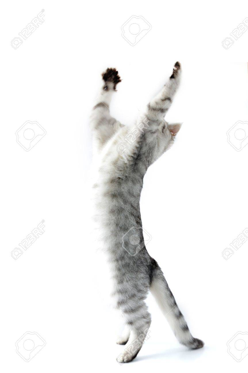 full length portrait of jumping playing reaching  silver kitten cat Stock Photo - 12848002