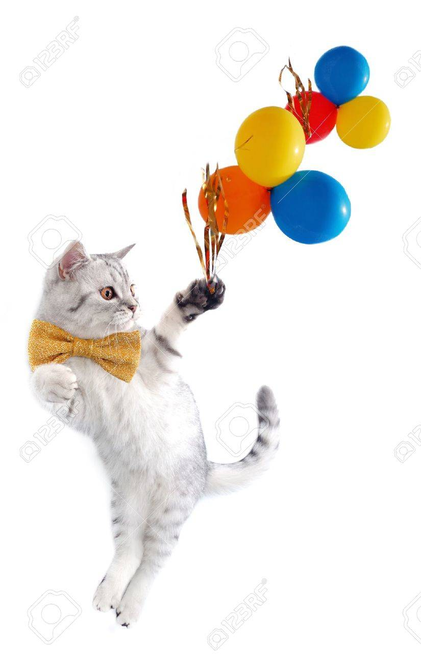 young silver tabby Scottish cat with bow tie with balloons Stock Photo - 14575146