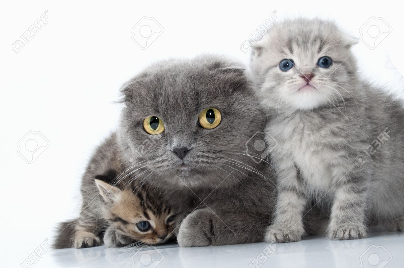 isolated family portrait of Scottish fold ear mother cat with her kittens Stock Photo - 17933498