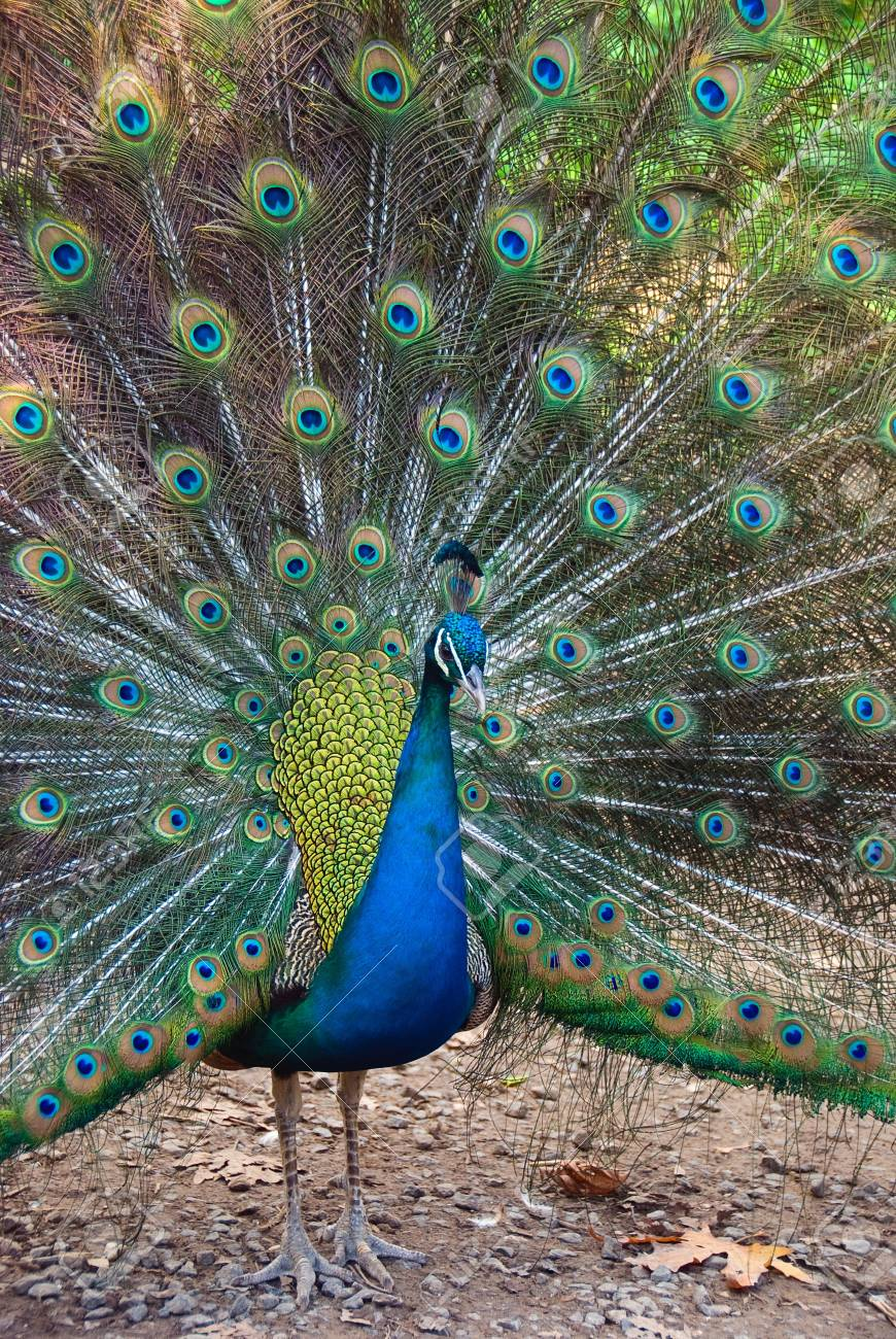 Beautiful spread of a peacock. Stock Photo - 6177253