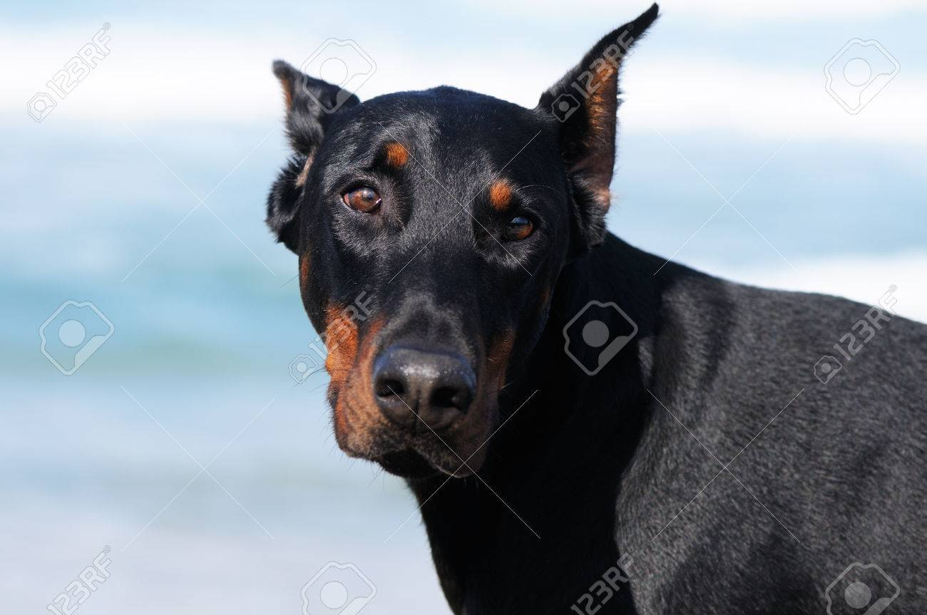 Young Doberman Pinscher Dog Outdoor Closeup Stock Photo Picture And Royalty Free Image Image 35137750