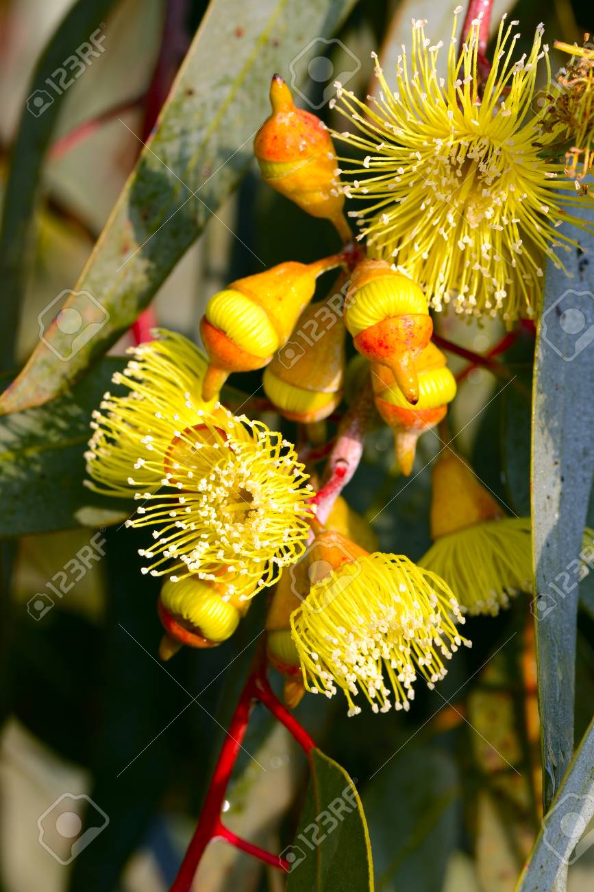 The Beautiful Yellow Flowers Of The Swamp Bloodwood Gum Tree Stock