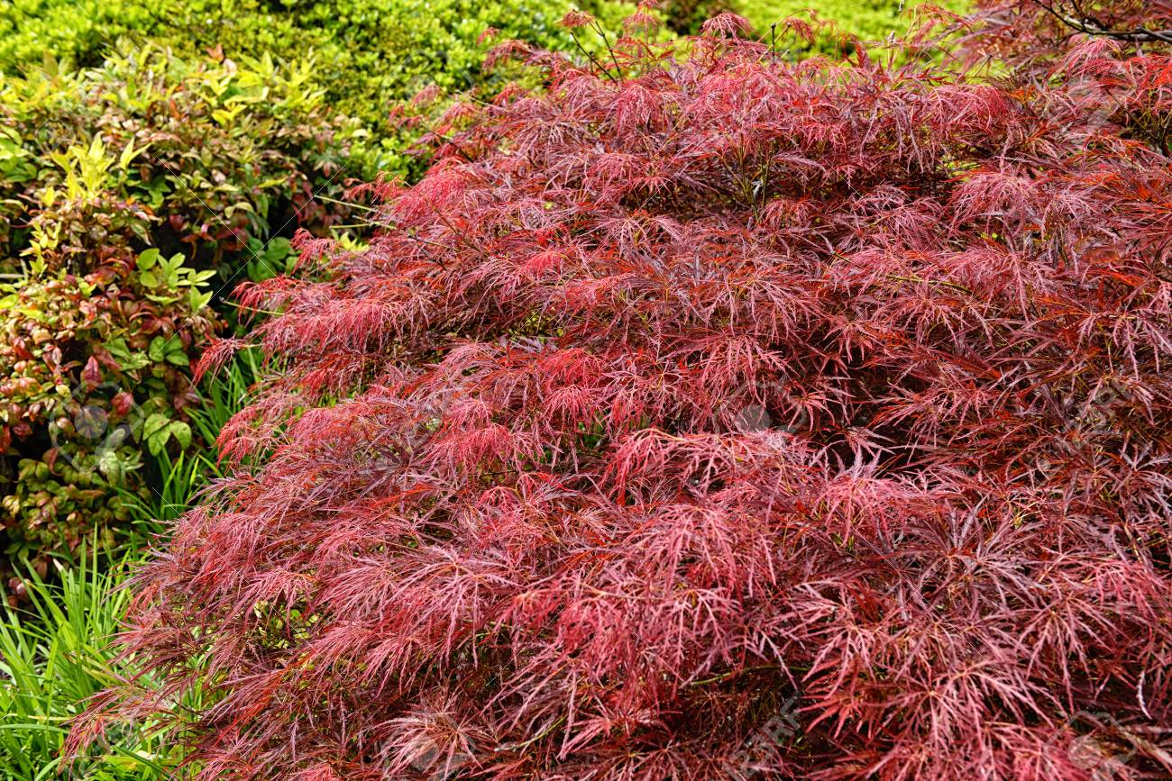 Red Foliage Of The Weeping Laceleaf Japanese Maple Tree Acer