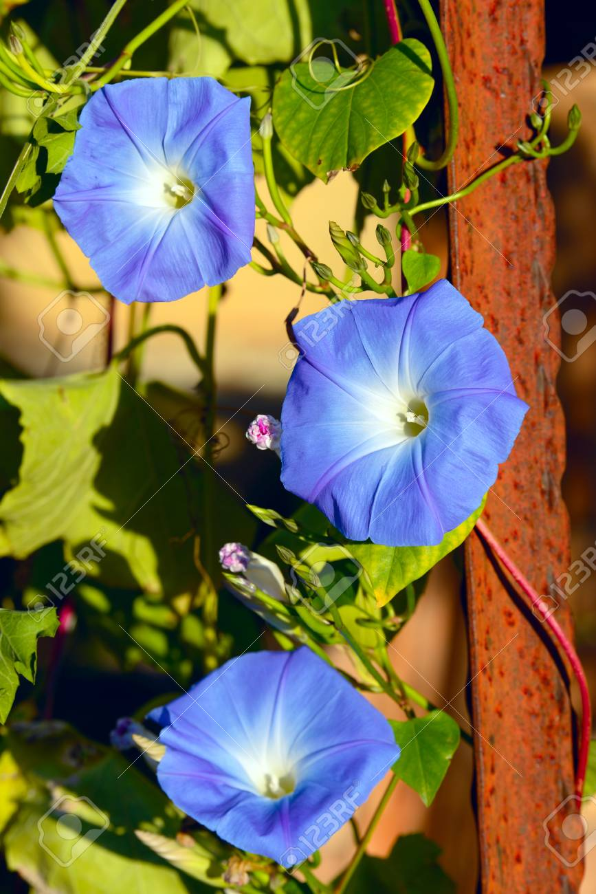 Blue white and yellow dwarf morning glory flower or bush stock blue white and yellow mightylinksfo