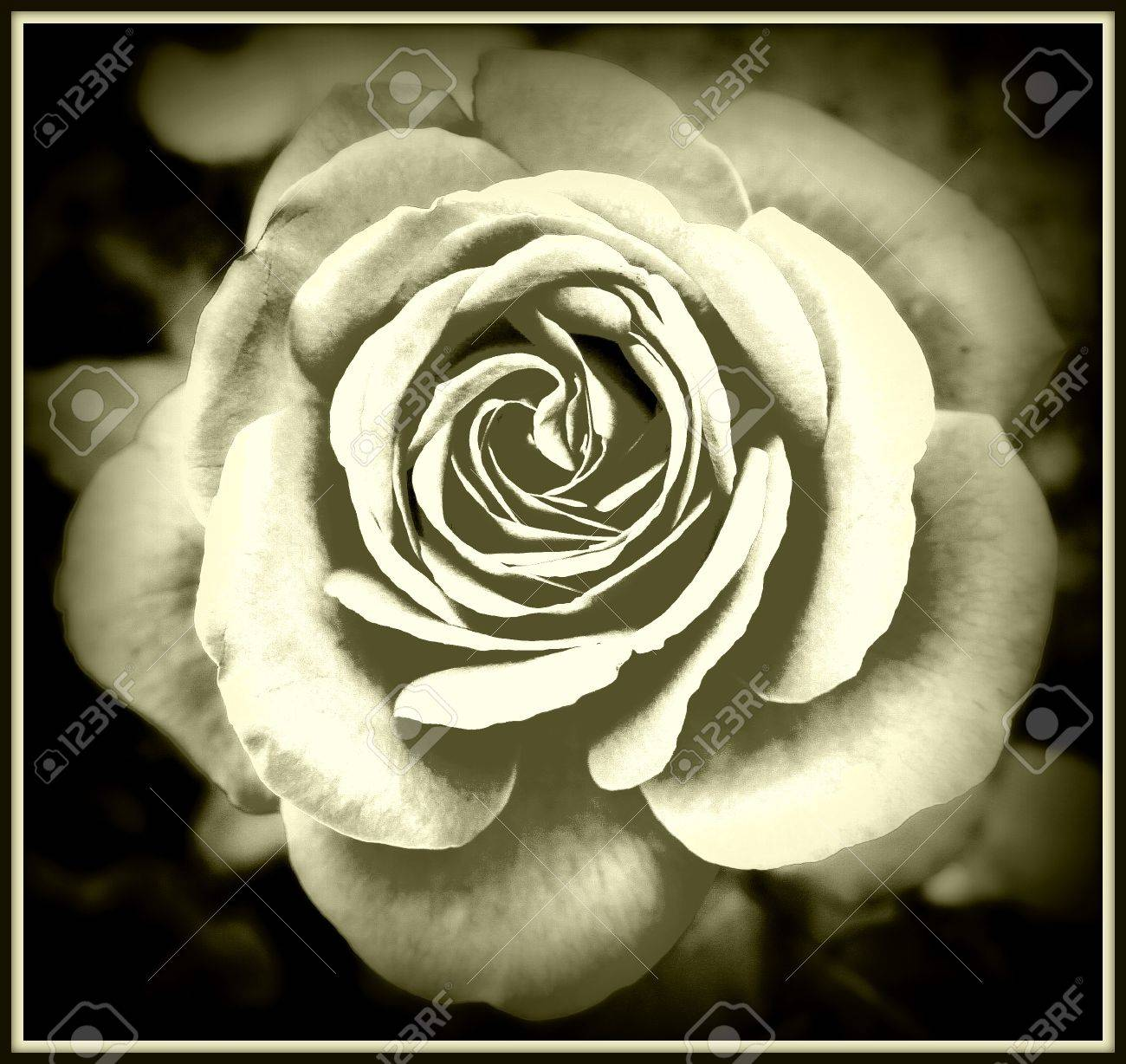 Beautiful Rose Abstract Background Black And White Effect