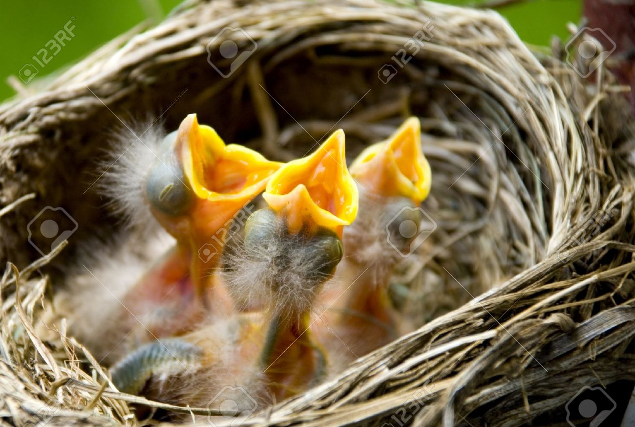 Three Hungry Baby Robins In A Nest Wanting The Mother Bird To