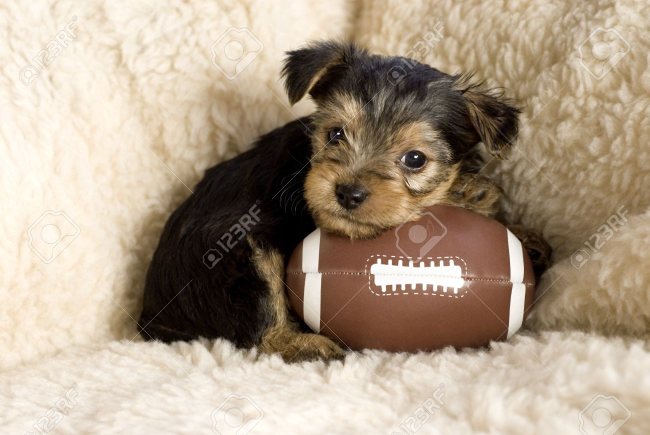Six week old Yorkshire Terrier Puppy posing with a toy football, copy space Stock Photo - 8825582