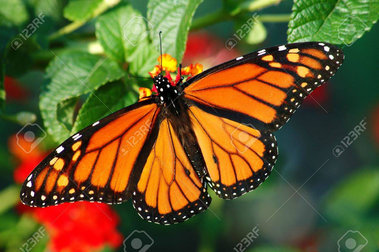 A beautiful Monarch butterfly with vibrant color, feeding on a Lantana bloom - 8925670