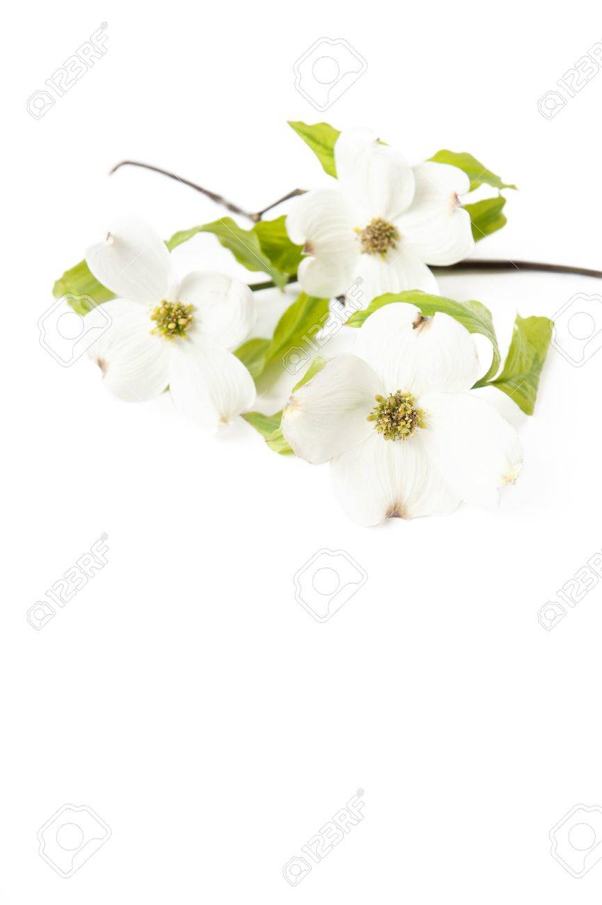 A White Dogwood Branch With Flowers On A White Vertical Background