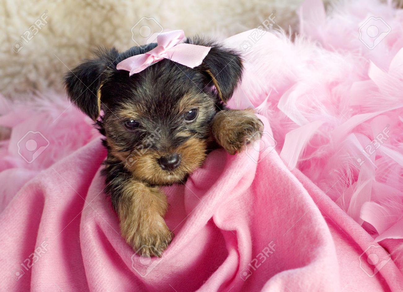 Fantastic Terrier Bow Adorable Dog - 9364590-an-adorable-six-week-old-female-yorkshire-terrier-puppy-with-pink-blanket-and-pink-hair-bow-copy-spa  Perfect Image Reference_793269  .jpg