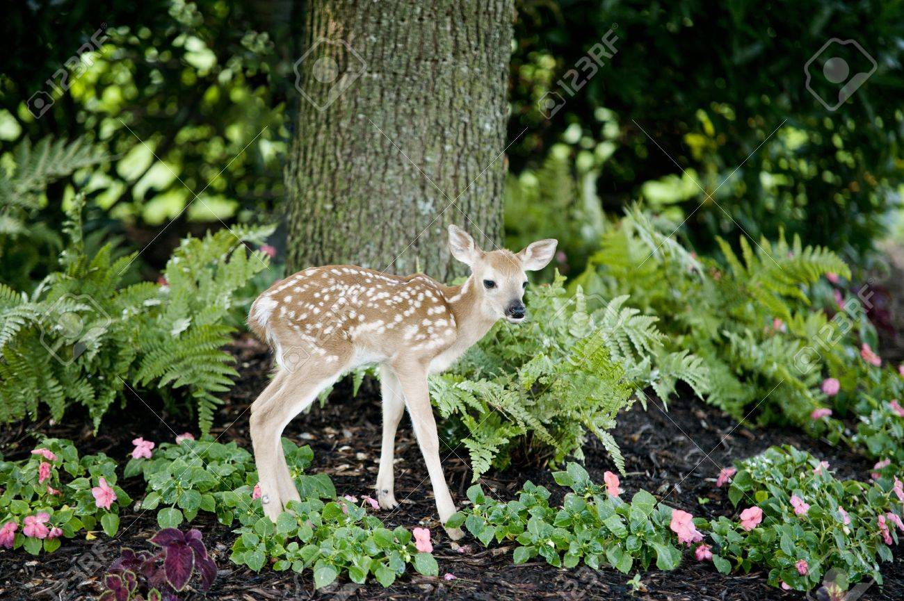 a cute little baby deer standing in a landscaped flowerbed in