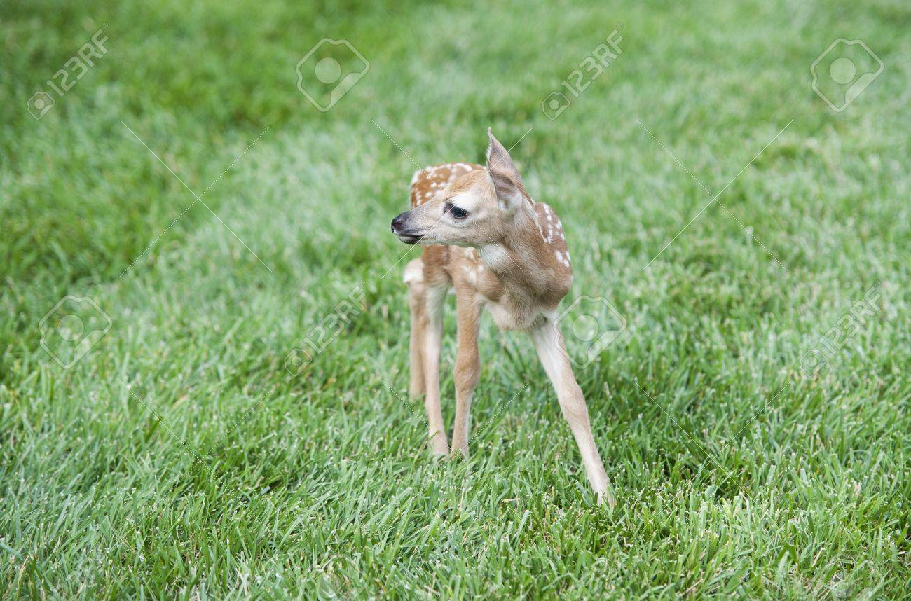 a baby deer standing on a green grass lawn stock photo picture