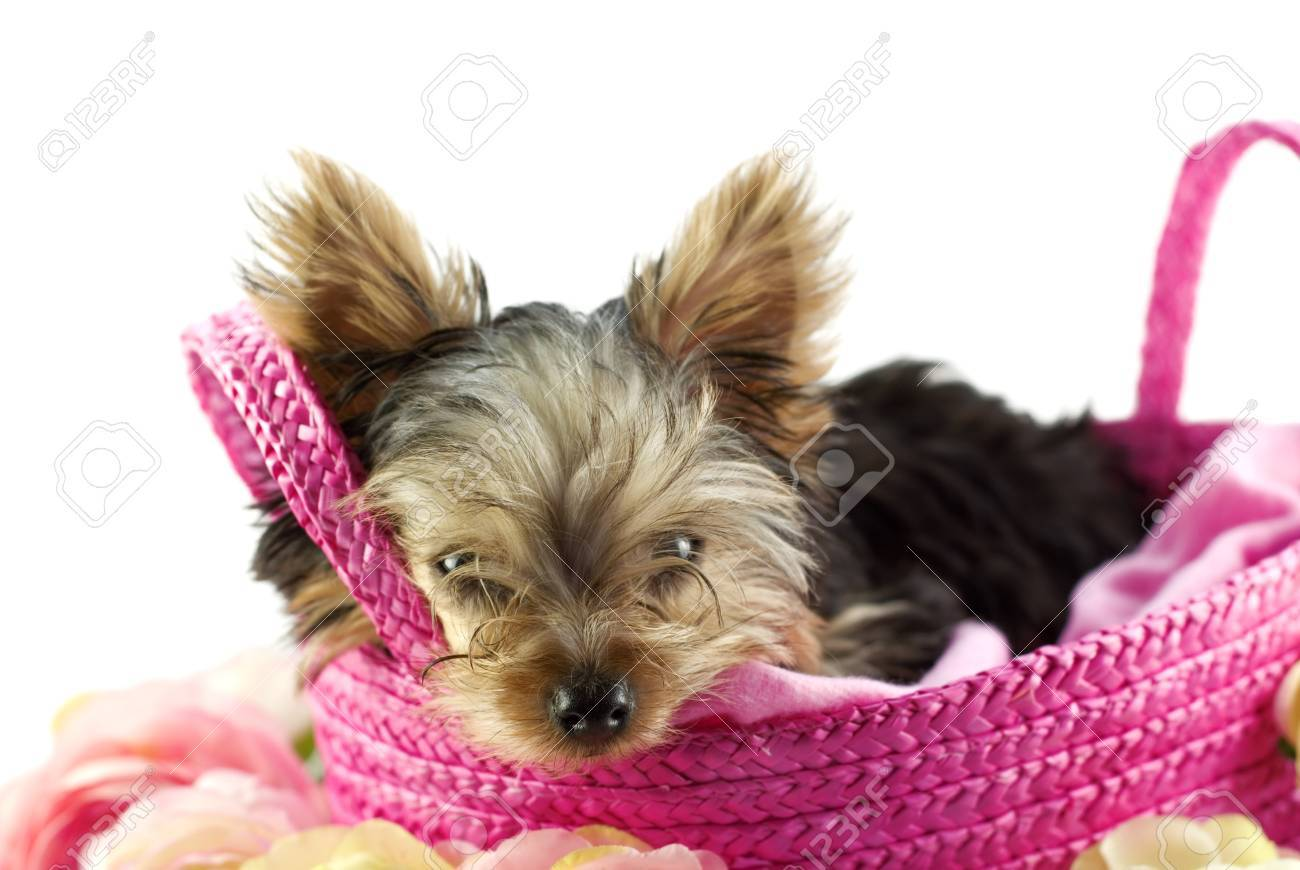 An Adorable Four Month Old Yorkie Puppy In A Pink Basket Closeup