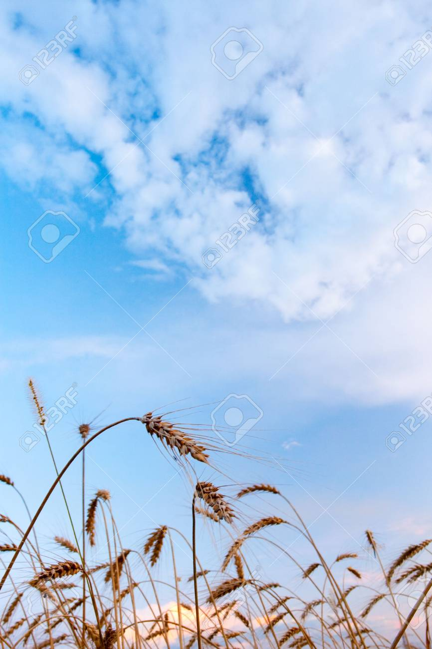 wheat under blue skies with clouds Stock Photo - 6637300